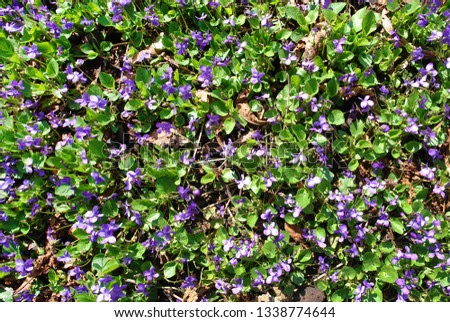 Pretty blomming sweet violet or wood violet (Viola odorata) as a natural texture #1338774644