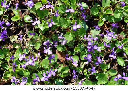Pretty blomming sweet violet or wood violet (Viola odorata) as a natural texture #1338774647
