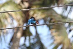 Pretty blue bird sitting on a wire line. Kingfisher bird