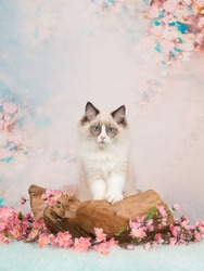 Pretty blue eyed ragdoll baby cat in a wooden scale on a romantic background with flowers and soft pastel colors