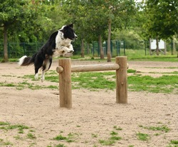 pretty Border collie dog jumping over an obstacle in a unleashed park