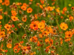 Pretty bright orange Geum flowers in a garden, variety Totally Tangerine