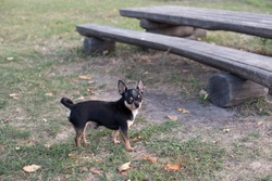 Pretty brown chihuahua dog standing and facing the camera.chihuahua has a cheeky look. The dog walks in the park. Black-brown-white color of chihuahua.Fall or summer