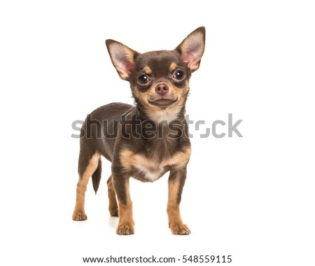 Pretty brown chihuahua dog standing and facing the camera isolated on a white background #548559115