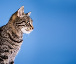 Pretty cat on blue background