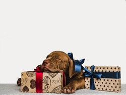 Pretty, charming puppy of chocolate color and bright bouquet of flowers. Close-up, isolated background. Studio photo, white color. Concept of care, education, obedience training and raising of animals