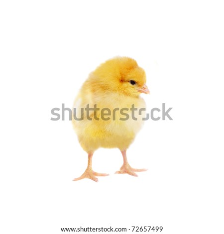 pretty chicken, isolated on white