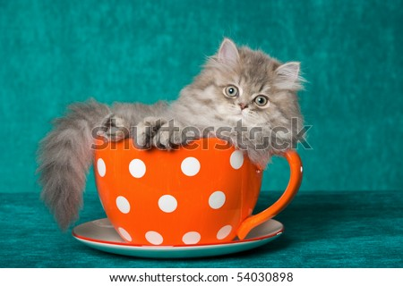 Pretty Chinchilla Persian kitten in large cup on green background - stock photo
