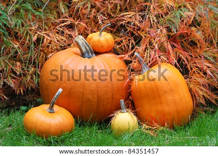 Pretty Closeup of Several Pumpkins of Various Sizes in Front of a Japanese Maple in a Garden, Backyard Setting.