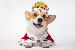 Pretty cute corgi dog wearing  royal costume crown  on white background.  copy space