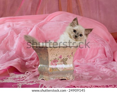 Pretty cute Ragdoll kitten sitting in Victorian plant holder, on shiny pink background
