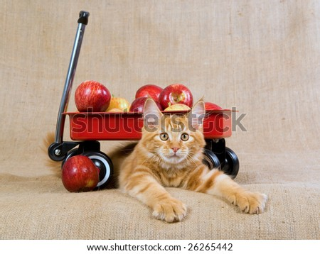 Pretty cute red Maine Coon kitten on hessian background, with miniature red wagon filled with apples