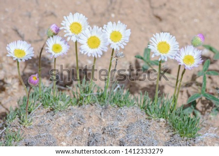Pretty Daisy or Pretty Fleabane (Erigeron bellidiastrum) Colorado Wildflowers #1412333279