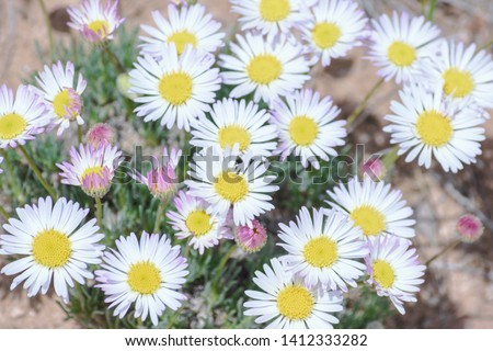 Pretty Daisy or Pretty Fleabane (Erigeron bellidiastrum) Colorado Wildflowers #1412333282
