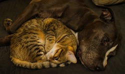 Pretty Domestic Cat comforting Senior Pitbull
