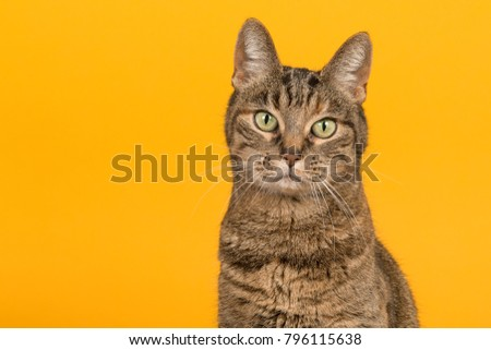 Pretty female tabby cat portrait with green eyes looking at the camera on a yellow background