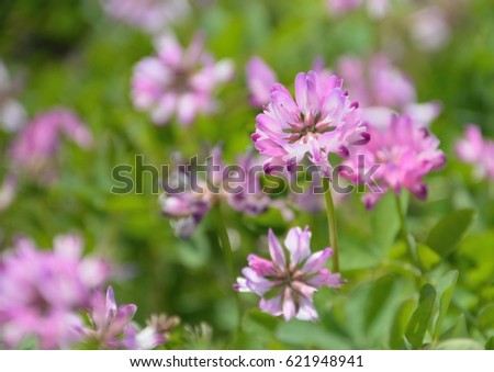 Pretty flowers of Chinese milk vetch in japanese spring