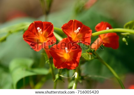 Pretty flowers of Red morning glory