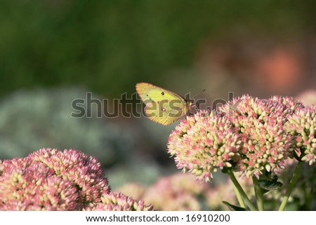 Pretty green moth on Pink Sedum just starting to bloom in early September.