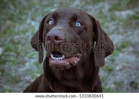 Pretty Lab Puppy #1333830641
