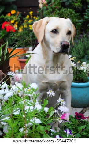 pretty labrador amongst the flowers