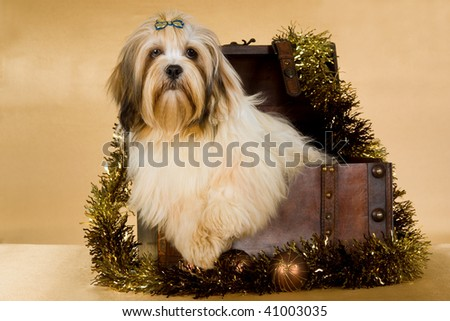 Pretty Lhasa Apso puppy inside Christmas chest trunk on gold background