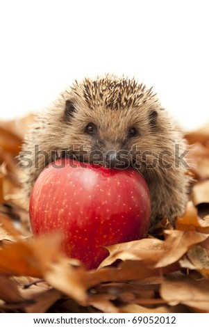 Pretty little hedgehog sitting on the leaves and eating fruit