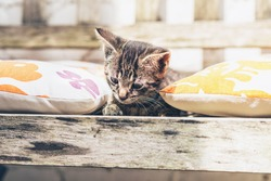 Pretty little tabby kitten lying amongst colorful floral cushions on a wooden garden bench looking down intently at the ground below