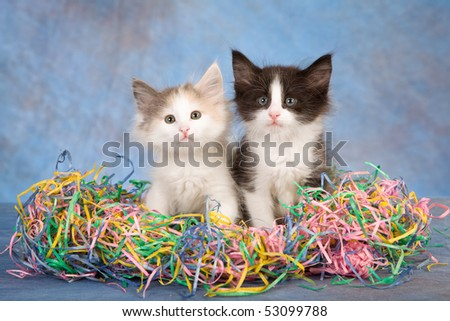 Pretty Norwegian Forest Cat kittens sitting in colorful shredded paper on blue mottled background fabric