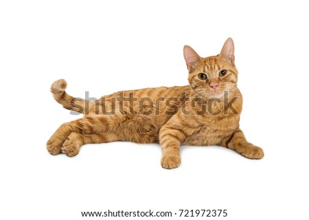 Pretty orange tabby cat lying down on white looking into camera