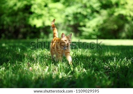 Pretty orange tabby cat walking through grass outside