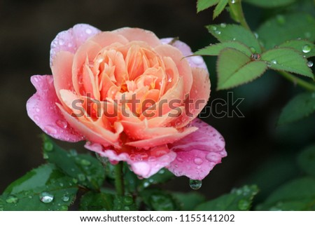 Pretty peach colored rose with dark pink edges covered in early morning raindrops on healthy green rose bush. #1155141202