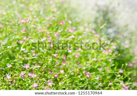Pretty Pink Gypsophila bush, Pretty Pink Flower Background.  #1255170964