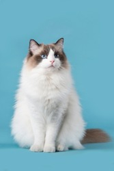 Pretty ragdoll cat with blue eyes looking up sitting on a blue background