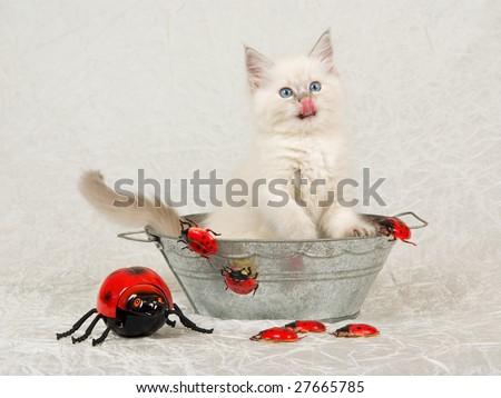 Pretty Ragdoll kitten inside zinc bath tub basin with red ladybirds bugs on cream white taffeta background