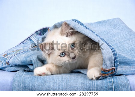 Pretty Ragdoll kitten lying inside denim jeans on blue background