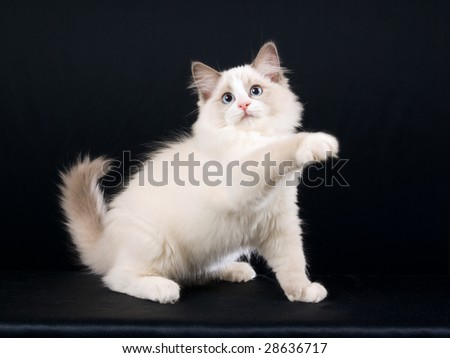 http://whatragdollcat.com/ragdoll-cat-charm/