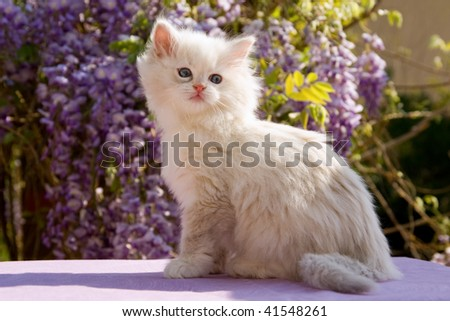 Pretty Ragdoll kitten sitting in front of purple Wisteria flowers