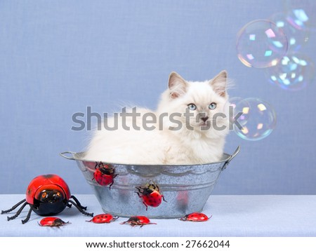 Pretty Ragdoll kitten sitting in zinc bath tub basin with red ladybirds bugs on blue background, watching soap bubbles
