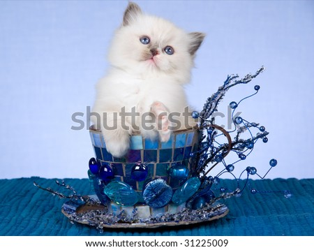 Pretty Ragdoll kitten sitting inside blue large cup with beads, crystals on blue background