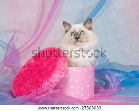 Pretty Ragdoll kitten sitting inside cerise pink gift box with lid covered with cerise pink faux fake fur