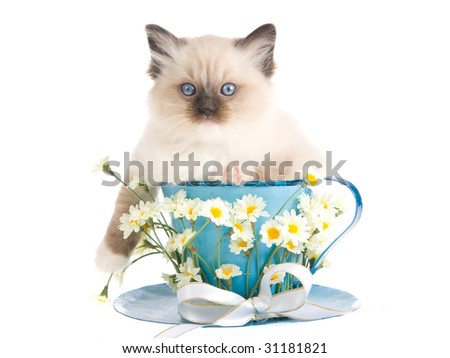 Pretty Ragdoll kitten sitting inside large cup decorated with bow and daisies flowers, on white background