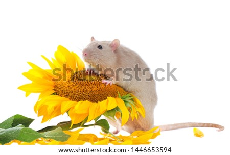 Pretty rat sitting on the sunflower closeup picture