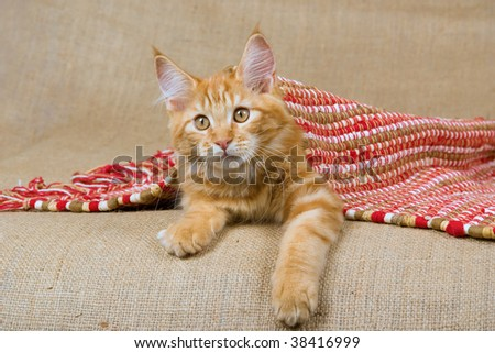 Pretty red Maine Coon kitten under red woven rug, on burlap background