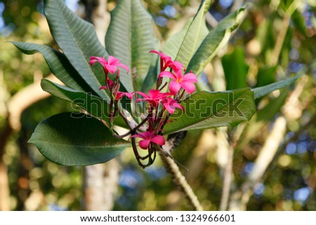 Pretty red plumeria or frangipani flowers on the tree in a tropical garden in a close up view