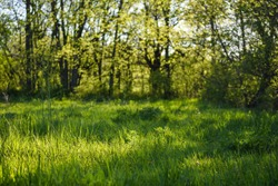 Pretty scene of a grassy forest meadow during the golden hour with a shallow depth of field and plenty of copy space.