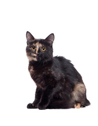 Pretty sitting tortoiseshell cat isolated on white