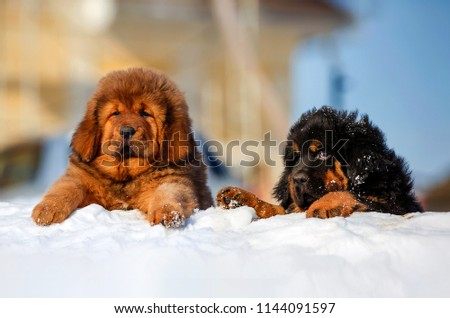 The Tibetan Mastiff  Puppy  Images and Stock Photos - Page: 3