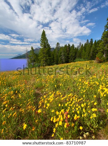 Pretty wildflowers grow near the shore of Jackson Lake in Grand Teton National Park - USA