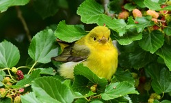 pretty yellow female scarlet tanager in a mulberry tree during spring migration at smith oaks sanctuary on high island near winnie, texas